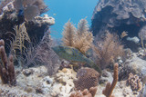 Scrawled Filefish in Florida Keys