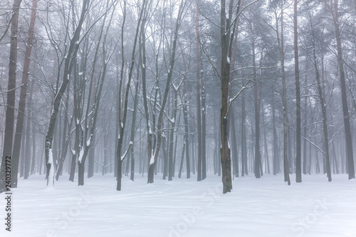 nature in winter. park trees standing in fog in white snow during foggy weather