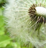 white fluffy dandelion close-up on a green background sun summer spring meadowy flowers weed recurrent raw materials seeds of parashutiki fuzz © natali8638