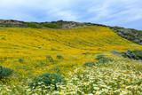 Wildblumenwiese auf Santorini in Griechenland