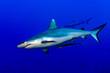Leinwandbild Motiv maldives Grey shark ready to attack underwater