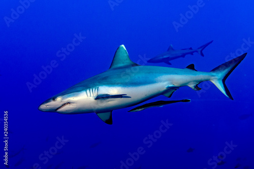 Leinwandbild Motiv maldives Grey shark ready to attack underwater