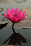 Pink water lily in the lake. Close up pink lotus. Beautiful scenery of pink water lily in the lake at sunrise.