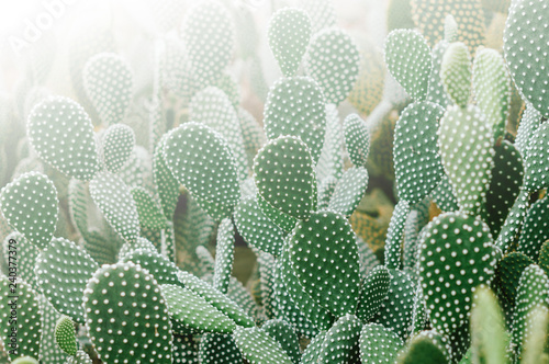 Photo of many small cactus in morning light - 240377379