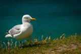 Portrait of a Seagull Standing on the Irish Coast