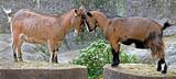 Domestic goat`s kids on the stumps