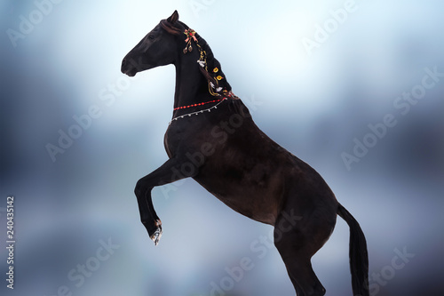 A beautiful black horse in Christmas decorations is standing on its hind legs