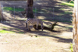 Grant's Zebra - Animal, Living Organism ,Mammals