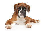 Beautiful German Boxer puppy on white background - 240442544