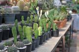 Cactus farm garden background of agriculture hobby. - 240453194