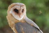 Barn owl is looking at the honey bee. Tyto alba. Bird of prey - 240476191