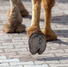 "Постер, картина, фотообои ""The hooves of a camel walking along the cobblestones"""