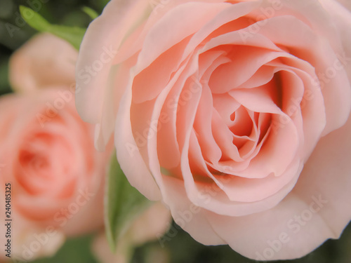 pink rose on green background, big petals, macro shot with shallow depth of field - 240485325