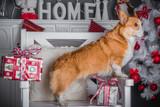 cute dog welsh corgi pembroke in christmas studio