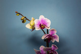 Orchid flower. Pink Orchid flowers isolated on blue background