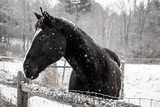 Black horse standing behind wooden fence during winter snowfall