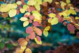 Nahaufnahme von bunten Buchenblättern im Herbst - 240513542