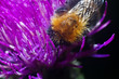canvas print picture - Bumblebee inside the Aster