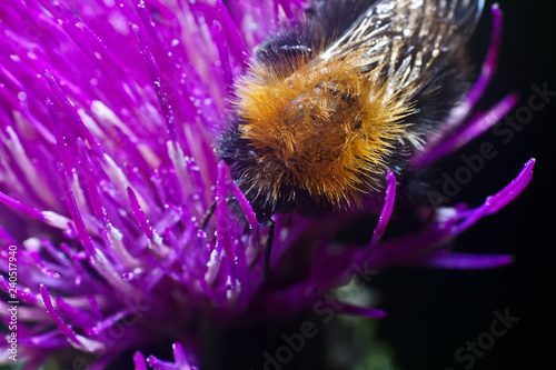 canvas print picture Bumblebee inside the Aster