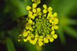canvas print picture - Yellow bloom close-up. Beautiful petals with fringe.