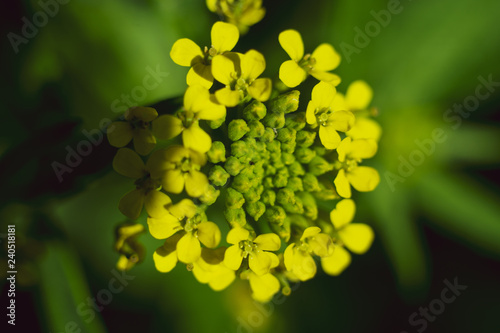 canvas print picture Yellow bloom close-up. Beautiful petals with fringe.