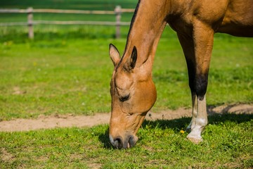 A brown Akhal teke horse grazing in a pasture on a sunny spring day, farm, green grass, wooden fence in background