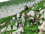 Flock of Chamois or Rupicapra rupicapra L. n the outskirts of the mountain mass Alpstein - Canton of Appenzell Innerrhoden, Switzerland