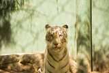 Close-up view of beautiful white bengal tiger at zoo. Animals in captivity