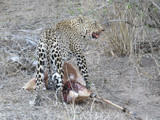 Leopard pauses while dragging partially eaten impala toward a tree - 240538902
