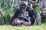 Mother and baby gorilla - 240539327