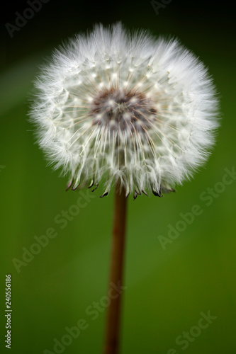 Beautiful dandelion macro - 240556186