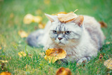 Cute cat with a fallen leaf on its head is lying on the grass in the autumn garden