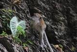 Affe in Batu Höhlen Kuala Lumpur