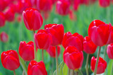 Red tulips in the flowerbed © yrafoto