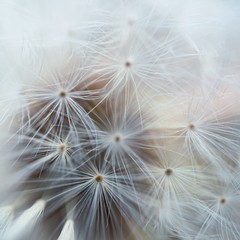 the beautiful dandelion flower plant in the garden