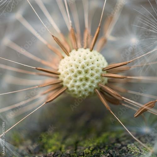 the beautiful dandelion flower plant in the garden