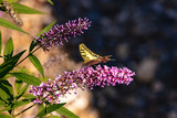 Butterfly on a branch of wild lilac