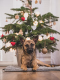 A small brown dog under a Christmas tree. Dog and Christmas.