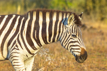 Portrait of zebra, Burchell's Zebra the most common in Africa, standing in iSimangaliso Wetland Park, South Africa. Blurred background.