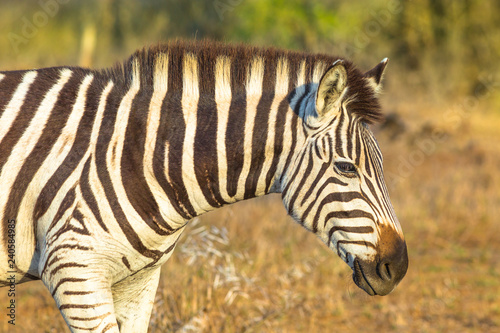Portrait of zebra, Burchell's Zebra the most common in Africa, standing in iSimangaliso Wetland Park, South Africa. Blurred background. - 240584985
