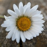 the beautiful white daisies flowers in the garden