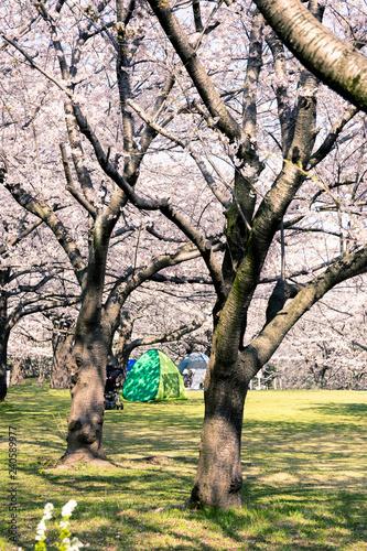 公園のお花見 - 240589977