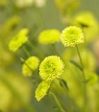 Green Chrysanthemum Flowers Blossom