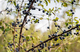 Blue blackthorn berries on a bush silhouetted against the sky - 240606336