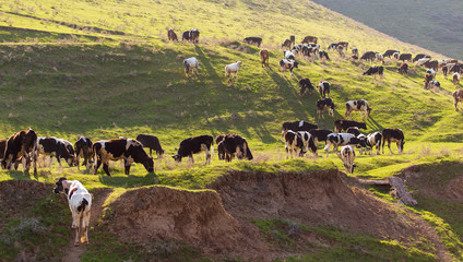 Herd of cows grazing in the hills in the spring