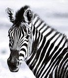 Close up of a Zebra on a green meadow © lehmannw