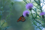 monarch butterfly on a purple thistle flower © Amy Buxton