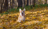 little dog, puppy, in the autumn forest on yellow foliage