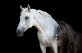 Portrait of a purebred Arabian mare with a foal.  - 240655744