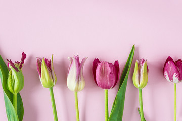 Beautiful pink tulips frame on pink background with copy space